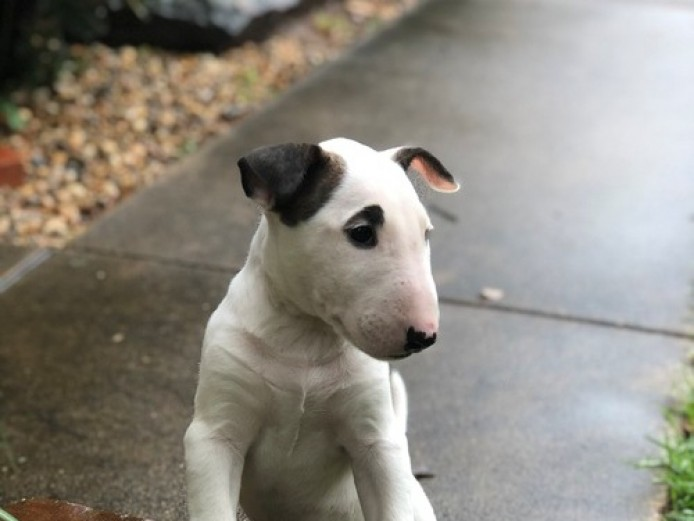 Exceptional English Bull Terrier Puppies