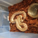 Hatchling Burmese Pythons for sale