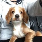 female cocker spaniel pup for sale