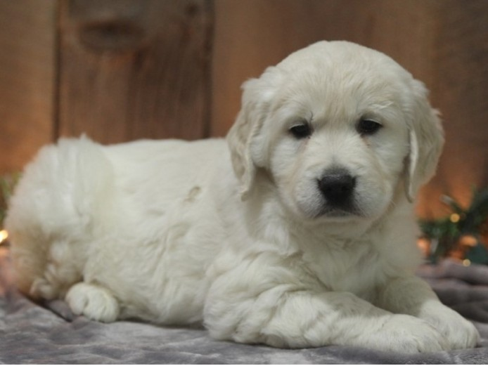 Outstanding Golden Retriever puppies