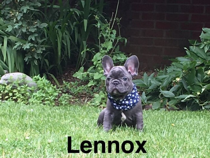 French bulldogs for sale ready now