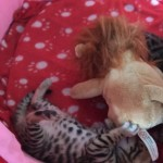 Registered Stunning Purebred Gold Rosetted Bengal Kittens