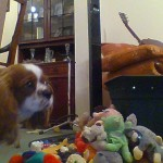 Cavalier King Charles Spaniel Wanted