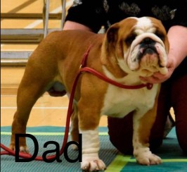 English bulldog puppy for sale
