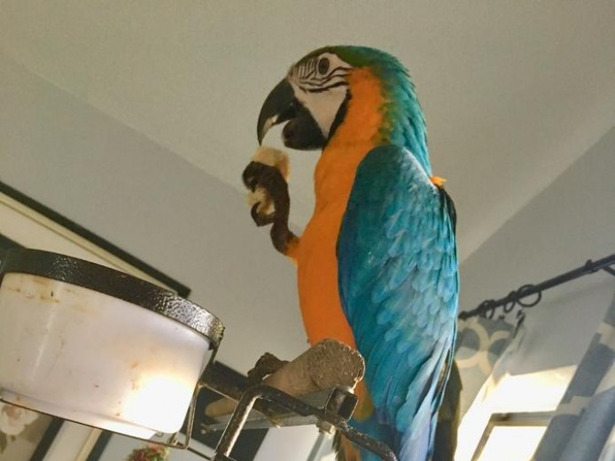 Speaks blue & gold macaw