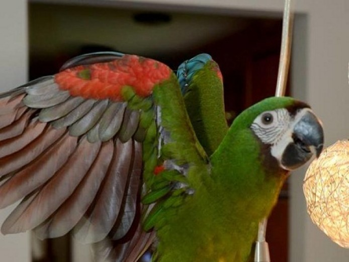 Inquisitive severe macaw available