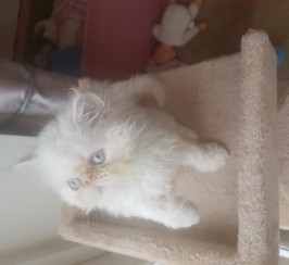 GCCF registered cream tabby Persian girl