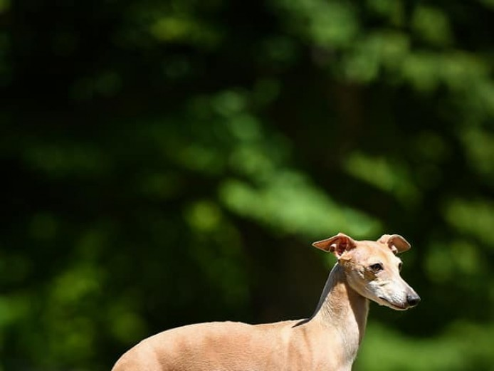 Italian Greyhound  little back girl
