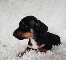 Males and females Dachshund Puppies