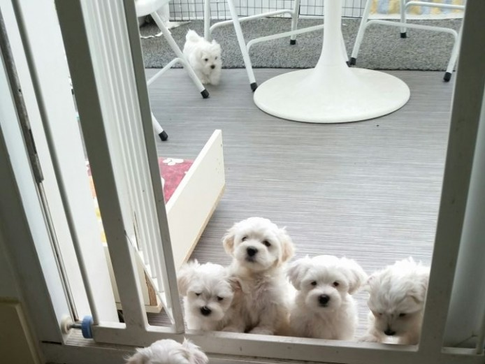 Beautiful Kc Maltese Puppies