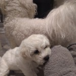 Stunning 2 boys Bichon Frise puppies for sale
