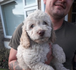 Pets  - Pretty F1b Labradoodle Puppies READY TO GO HOME!!