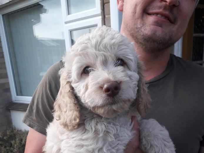 Pretty F1b Labradoodle Puppies READY TO GO HOME!!