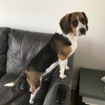 Beagle or Beaglier please