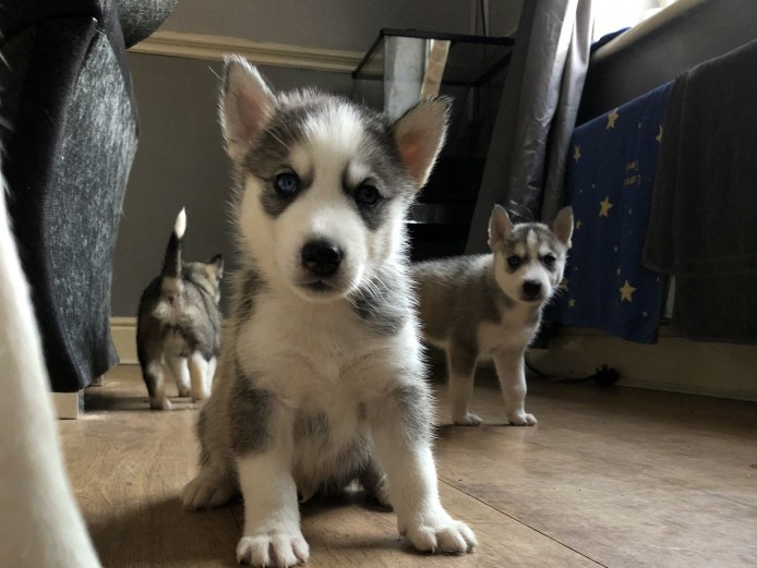 PLANNED LITTER OF HUSKY PUPPIES