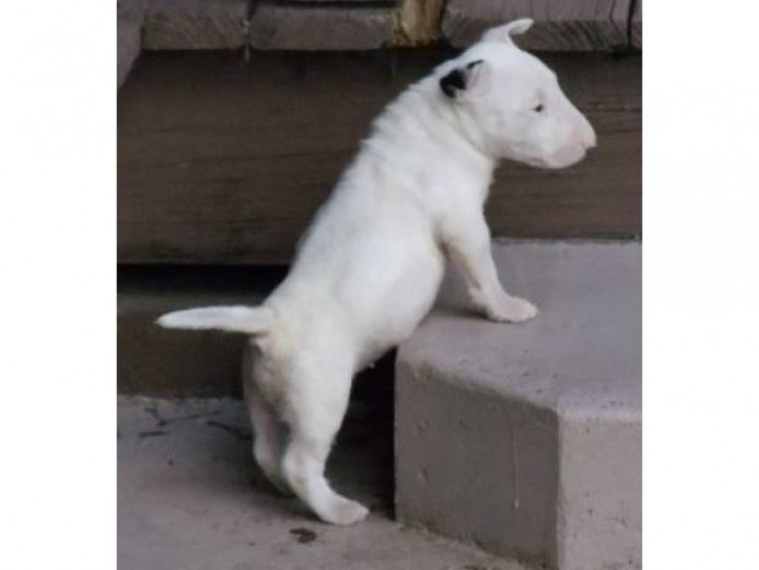 Kc Reg Pedigree English Bull Terrier Pups Ready