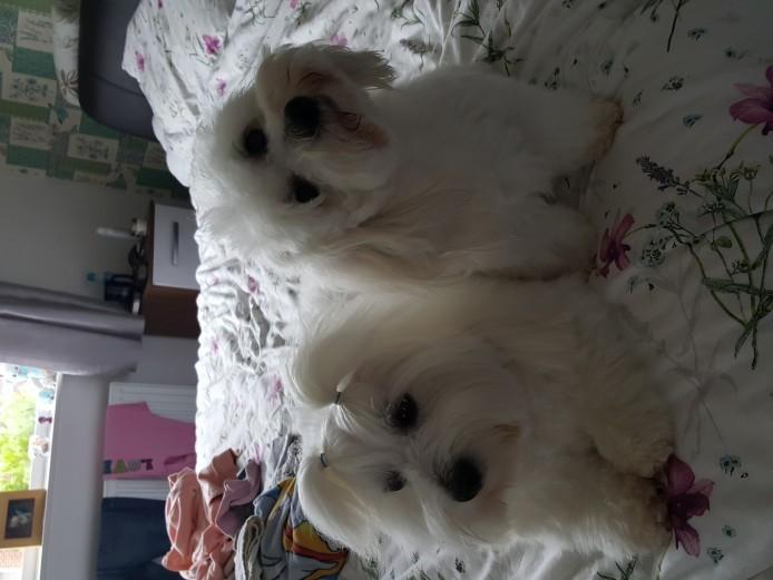 Coton de tulear puppys kc reg