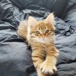 Pedigree Golden Siberian Kitten