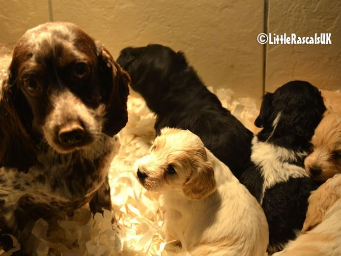 Cockachon Puppies for sale