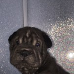 Ready now kc Shar Pei puppies