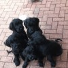 Pets  - Giant Schnauzer Puppies -Ready Now