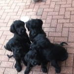Giant Schnauzer Puppies -Ready Now