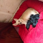 Female pup for sale £250