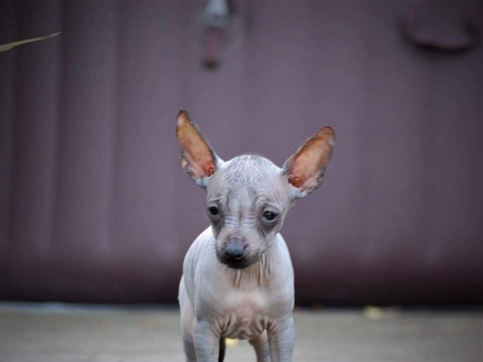 MINIATURE MEXICAN HAIRLESS AND COATED PUPPIES FOR