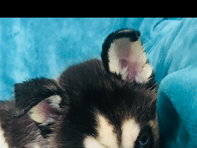 Beautiful KC Registered Siberian Husky Puppies