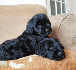 Pets  - Giant Schnauzer puppies for sale