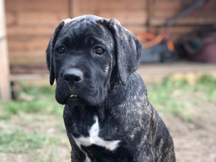 Cane Corso Big Bones UK Litter