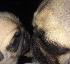 Gorgeous full pedigree pug puppies looking for forever home