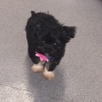 Shiz Tzu X Chihuahua Puppy For Sale Urgent