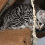 5 STUNNING PURE BENGAL KITTENS FOR SALE