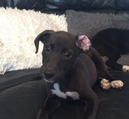 Pets  - Last Dog Beautiful whippet cros bull/greyhound