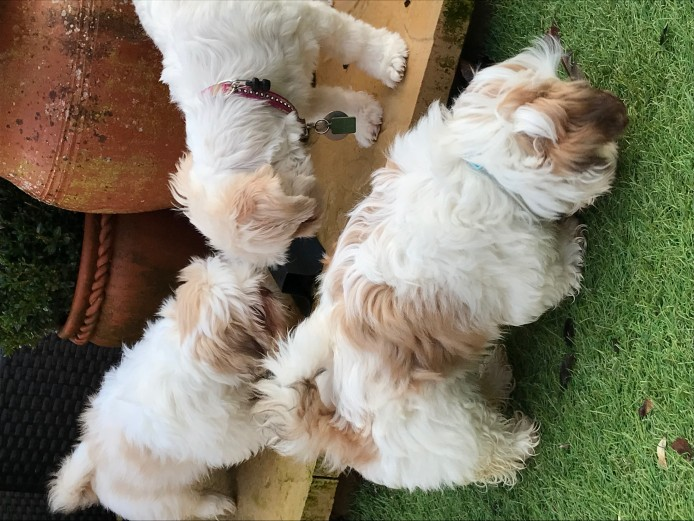 Imperial Shih Tzu Puppies with karashishi lines. ONLY 1 boy left