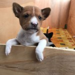 Pure Breed Basenji Puppies