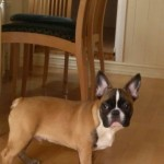 Beautiful French bulldog puppies KC