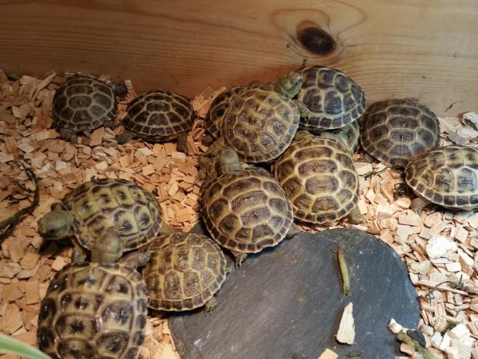 Baby horsefield tortoises