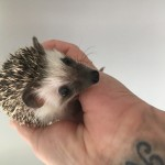 Pygmy hedgehog baby ready today - can deliver