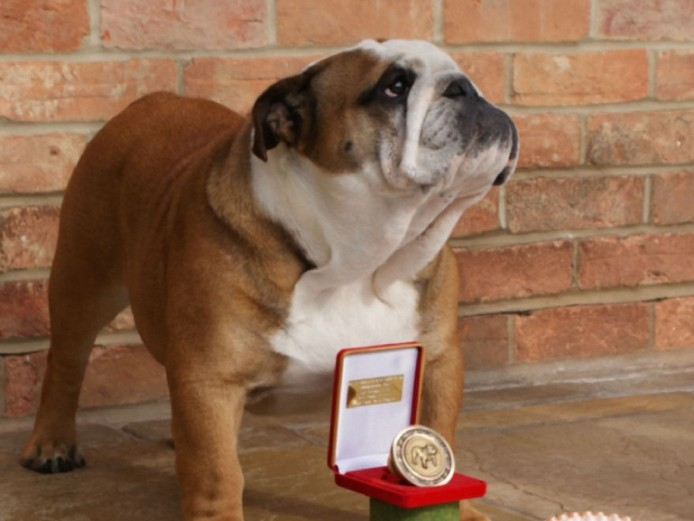 Stunning English Bulldog Males