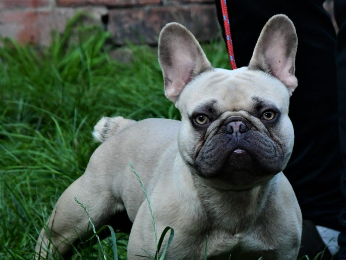 2 Male French bulldogs