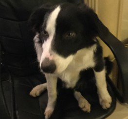 Pets  - 6 month old male border collie looking for a new, loving home
