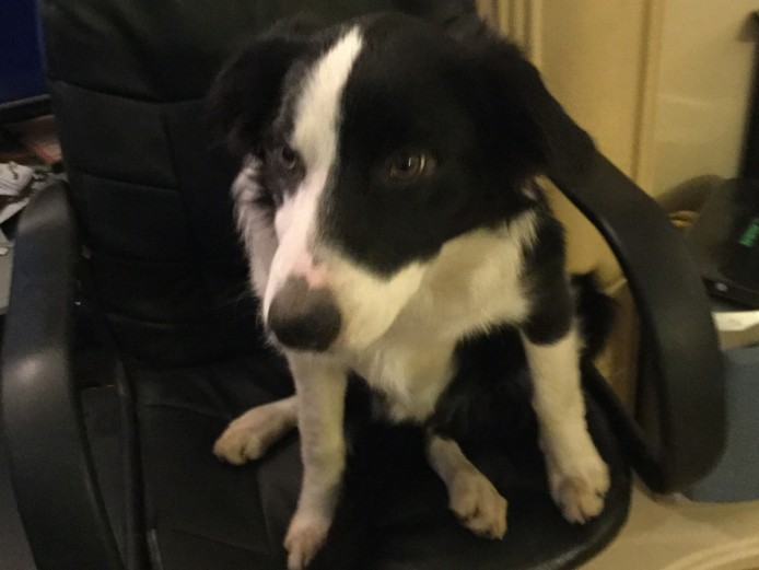 6 month old male border collie looking for a new, loving home