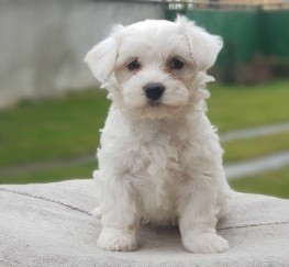 Pets for Adoption - Good looking Maltese Puppies Available
