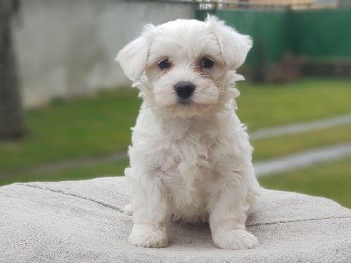 Good looking Maltese Puppies Available
