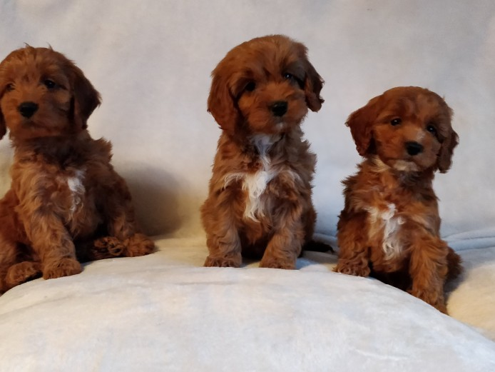 Red Toy Poodle PRA Clear