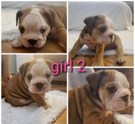 Pets  - English bulldog puppies kc reg, champion lines