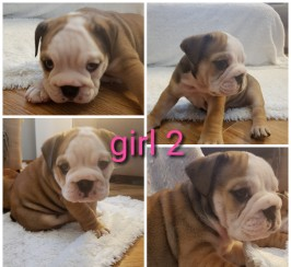 English bulldog puppies kc reg, champion lines