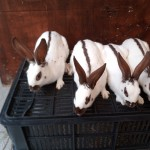 Fully vaccinated English spot rabbits